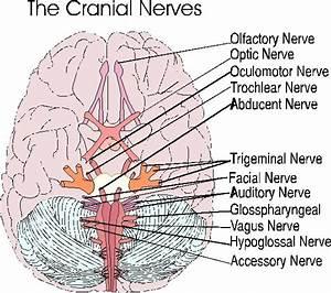 Cranial Nerves 119k