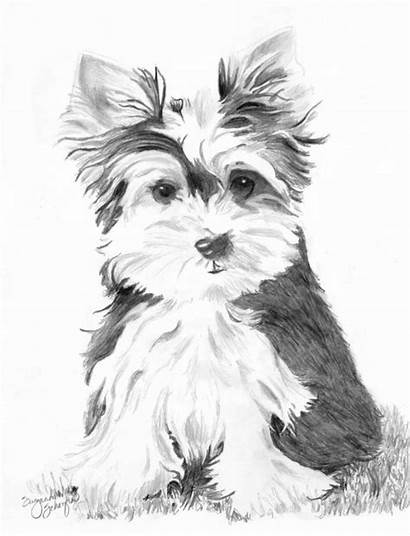 Yorkie Coloring Terrier Yorkshire Pencil Teacup Draw