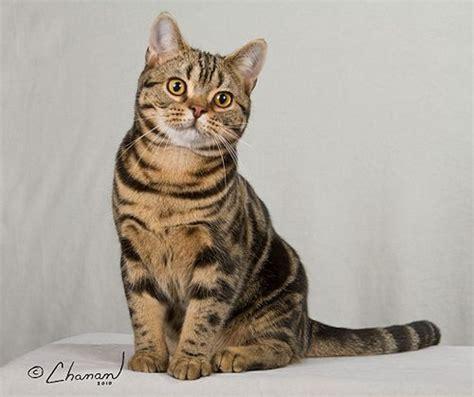 50+ Lovely American Shorthair Cats Golfiancom