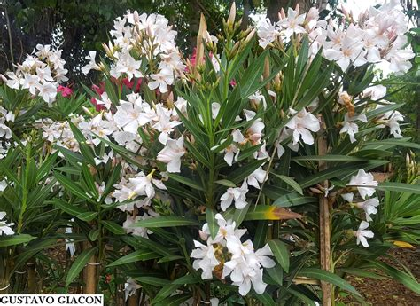 Viveiro Ciprest - Plantas Nativas e Exóticas: Espirradeira ...
