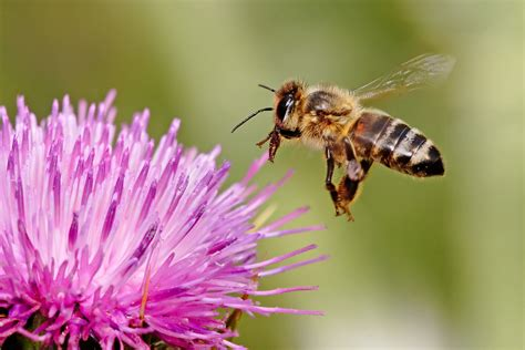 Why Raise Honeybees?