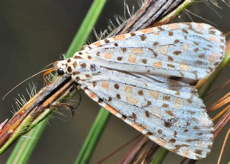 heliotrope moth utetheisa pulchelloides