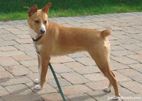 chloe basenji dog breeds