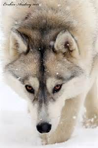Beautiful Winter Wolves