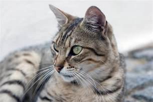 diabetic cat feline diabetes symptoms slideshow