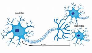 Speed Of Neuron Recovery In The Human Brain