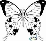 Coloring Butterfly Cycle Drawing Simple Fancy Printable Getdrawings Realistic Clipart Colorings Colors Templates Getcolorings Teamcolors Template sketch template