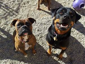 Differences Between Rottweiler and Boxer | Pets World
