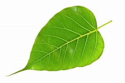 Peepal Leaves Ingredients Leaf Tree Ayurvedic Forest