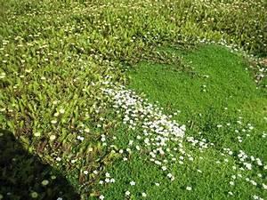 Bodendecker Statt Gras : begehbare bodendecker als rasenersatz 10 geeignete pflanzen gartenideen pinterest ~ Sanjose-hotels-ca.com Haus und Dekorationen