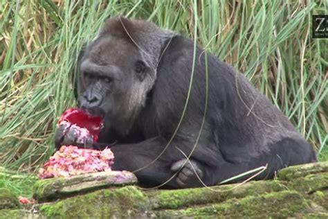 gorilla  london zoo enjoy cake baked   great