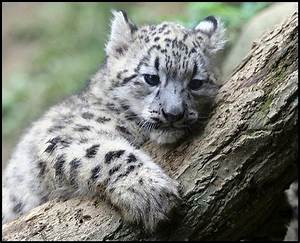 Baby Snow Leopard | 6,000 views as of June 8th 2012 ...