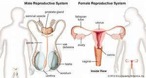 Female Reproductive System Diagram Labeled For Kids