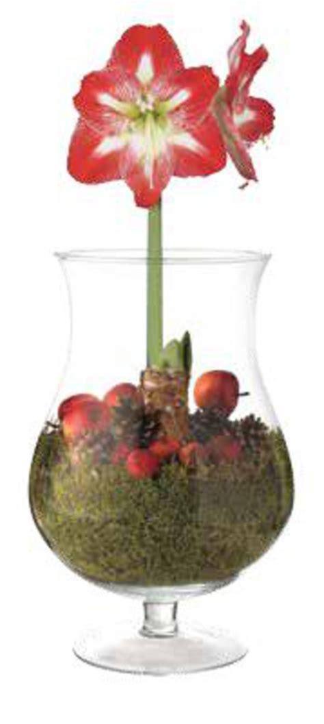 Amaryllis Im Glas Dekorieren by Amaryllis Im Glas Netto Supermarkt Ansehen 187 Discounto De