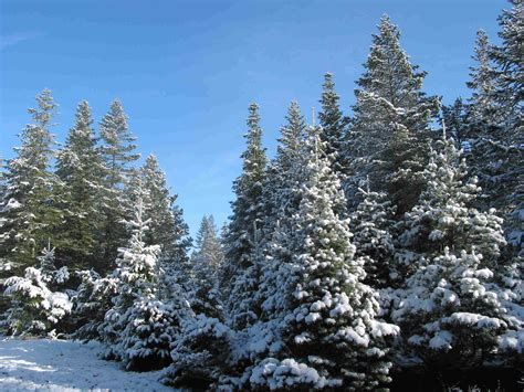 christmas trees and snow the history of the tree farm and where to find the tree santa waves