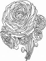 Coloring Peony Flower Flowers Printable Template Recommended Templates Colors sketch template