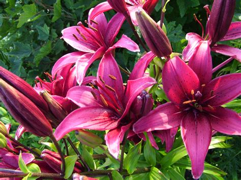 purple lilies images bluestocking redneck signs of spring