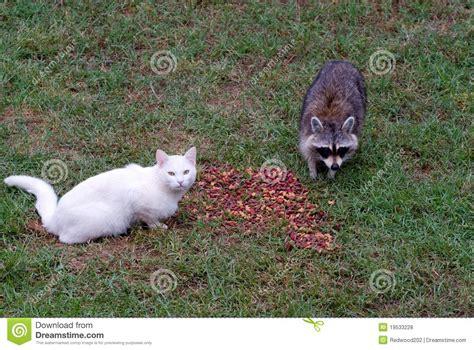 cat  raccoon stock photo image  mammal outdoors