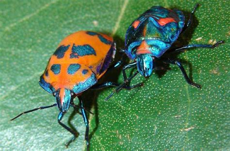 Do It Yourself  How To Get Rid Of Stink Bugs Australian