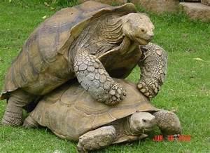 How Large Do Captive Sulcatas Get Tortoise Forum
