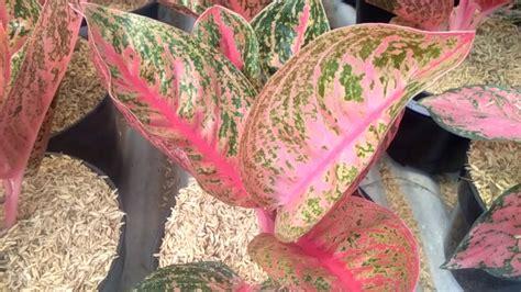 jual tanaman hias bunga aglaonema widuri dapatkan