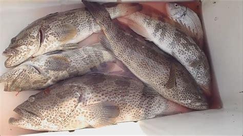 fish grouper fishing fresh chilled abu dhabi hammour 5kg 200gm varying wise offering grade