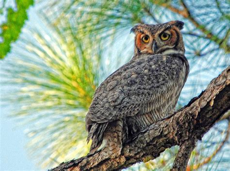 great horned owl at sunset florida wildlife nature