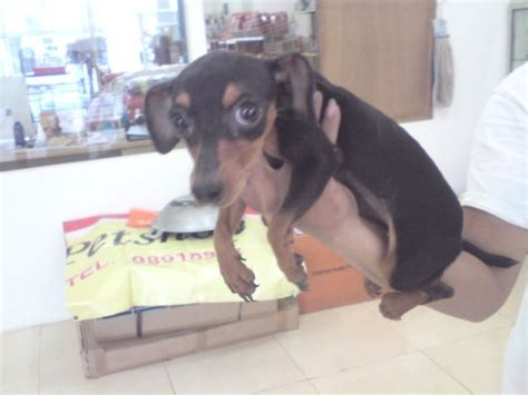 dunia anjing jual anjing dachshund anjing sosis