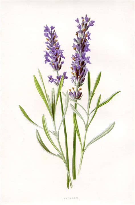 Bilder Mit Lavendel by Beautiful Lavender Botanical Printable The Graphics