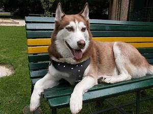 Diferencias entre Husky Siberiano y Alaskan Malamute Mascotas