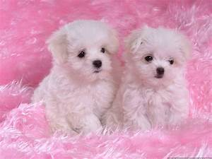 two little cute maltese-puppies with the pink carpet ...