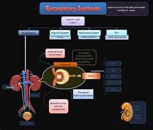 Educative Diagrams  Excretory System Diagram