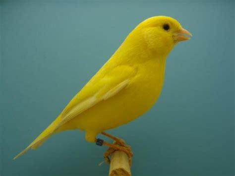 Riproduzione Canarini In Gabbia - il canarino un piccolo tenore il portale dei bambini