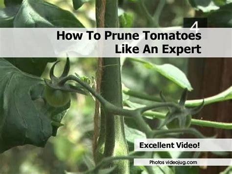 prune tomatoes   expert