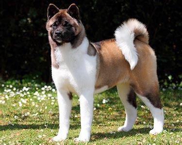 akita dog breeds purina australia