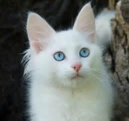 turkish angora cats turkish angora cat breeders australia turkish angora