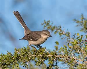 Hawks Birds of Texas Pictures