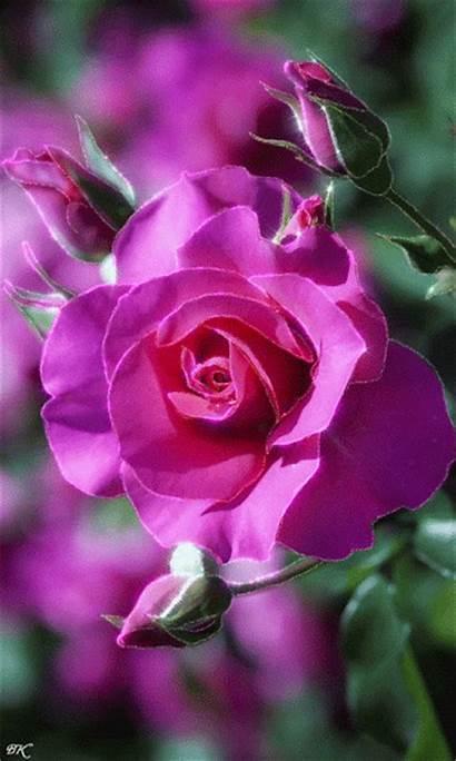 Pink Roses Dark Lovethispic