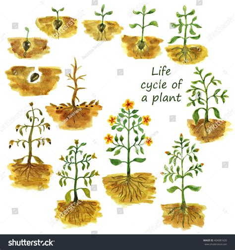 Life Cycle Plant Plants Growing Process Stock Illustration 404081620 Shutterstock
