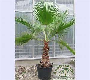 Winterharte Kübelpflanzen Schattig : washingtonia robusta 140cm palmen alle arten palmen ~ Michelbontemps.com Haus und Dekorationen