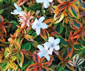 Abelia Grandiflora Kaleidoscope : abelia kaleidoscope covingtons ~ Melissatoandfro.com Idées de Décoration