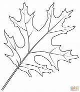 Coloring Leaf Oak Scarlet Printable Drawing Leaves Tree Categories sketch template