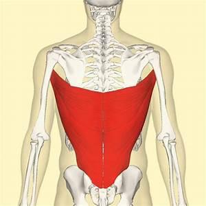 Latissimus Dorsi  Spines Of T7 To Sacral Vertebrae  Iliac