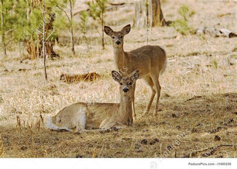 doe fawn whitetail yearling lying down looking standing behind featurepics directly odocoileus virginianus dakota hills both camera south into