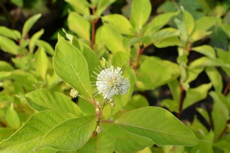CEPHALANTHUS occidentalis, Bois-bouton, blanc -Pépinière ...