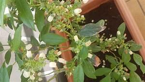 Heidelbeere Im Kübel : heidelbeere goldtraube vaccinium corymbosum goldtraube ~ Lizthompson.info Haus und Dekorationen