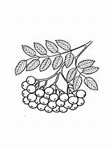Coloring Rowan Pages Berries Printable Recommended sketch template