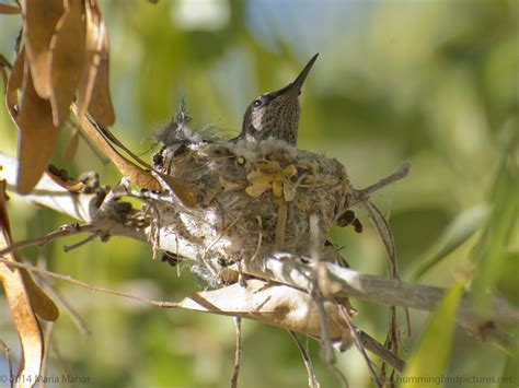 how small is a hummingbird nest