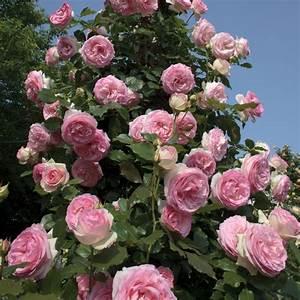 Rosier Grimpant Blanc : rosier grimpant 39 pierre de ronsard 39 meiviolin rosier ~ Premium-room.com Idées de Décoration