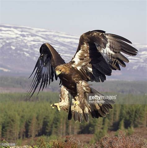 Golden Eagle Stock Photos And Pictures